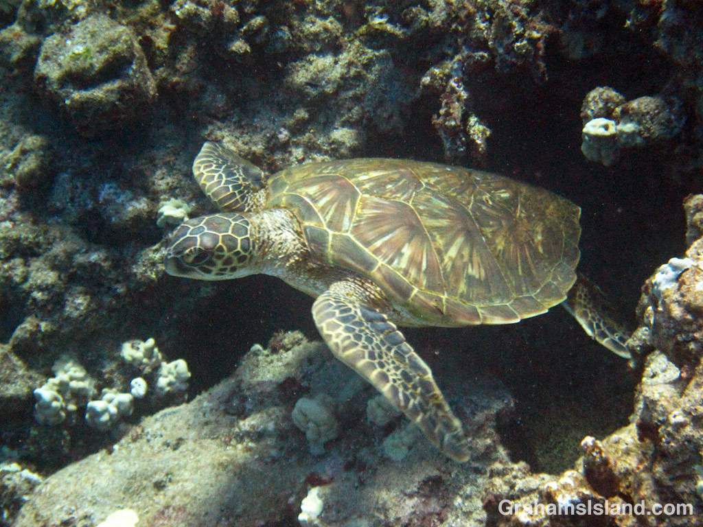 A Green turtle emerges from a hole in the waters off Hawaii