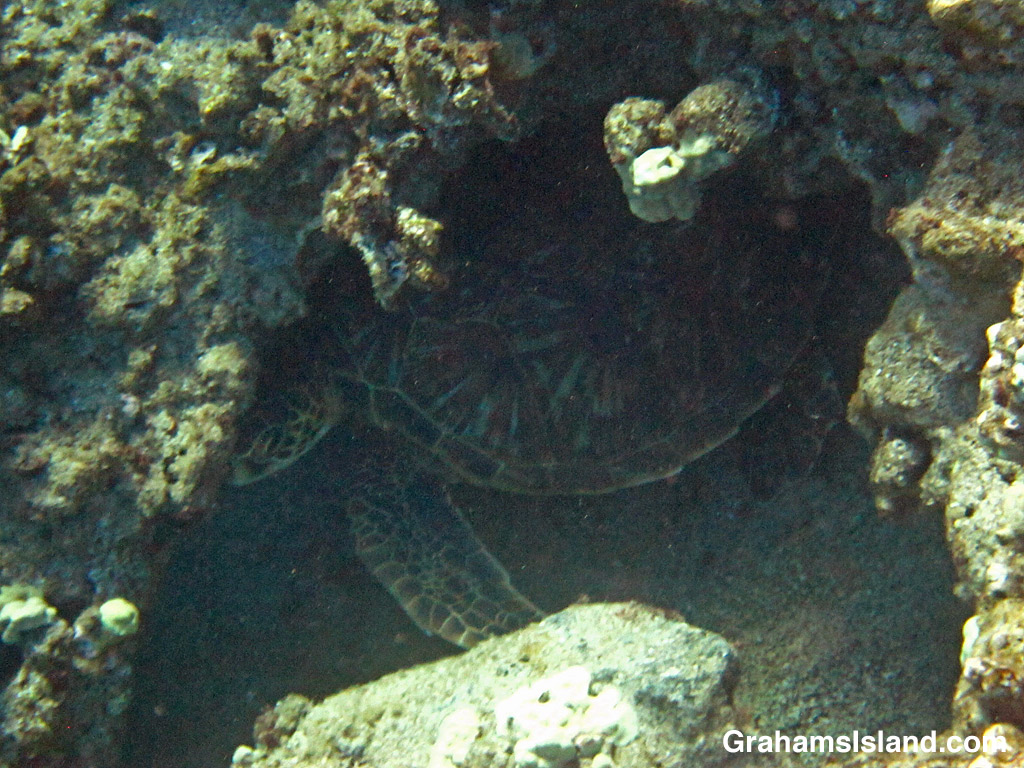 A Green turtle resting in a hole in the waters off Hawaii