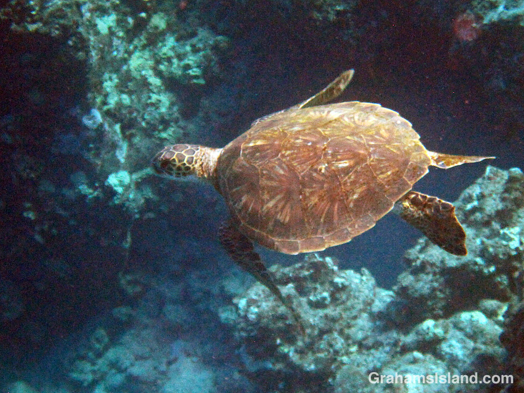 A Green turtle swims in the waters off Hawaii
