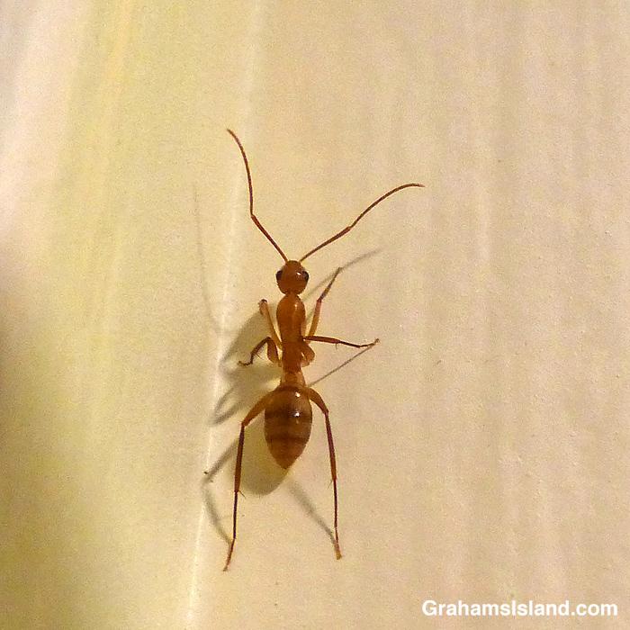 A Hawaiian carpenter ant (Camponotus variegatus)
