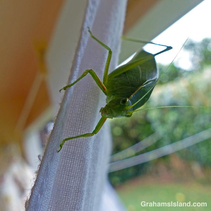 A katydid on a piece of laundry