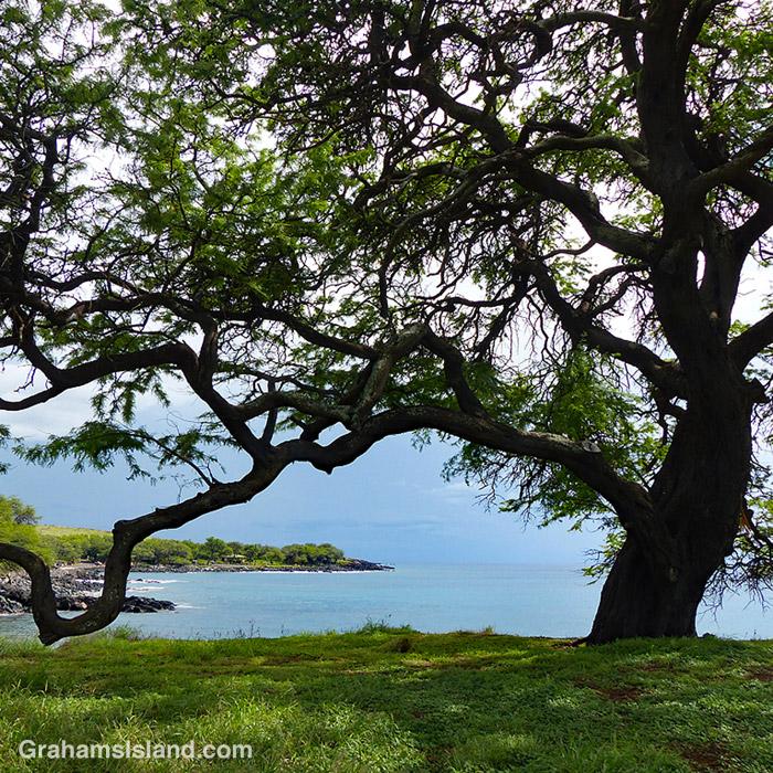 A tree on the Kohala Coast, Hawaii