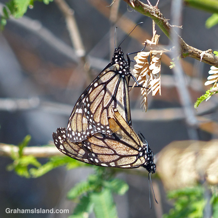 Monarch butterflies mating on a kiawe tree