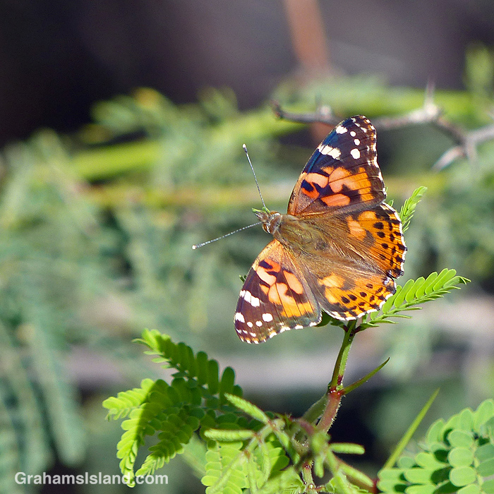 A painted lady butterfly on a kiawe tree