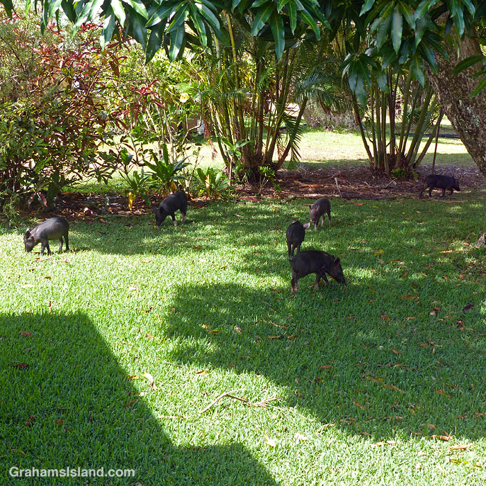 Six little pigs forage for mangoes