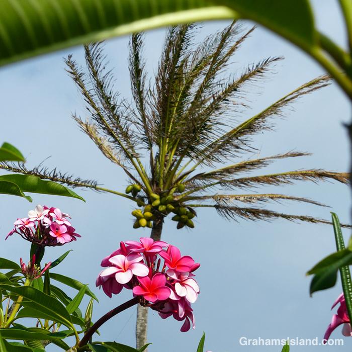 Plumerias and a coconut palm