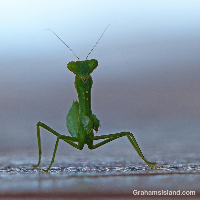 A juvenile praying mantis at eye level
