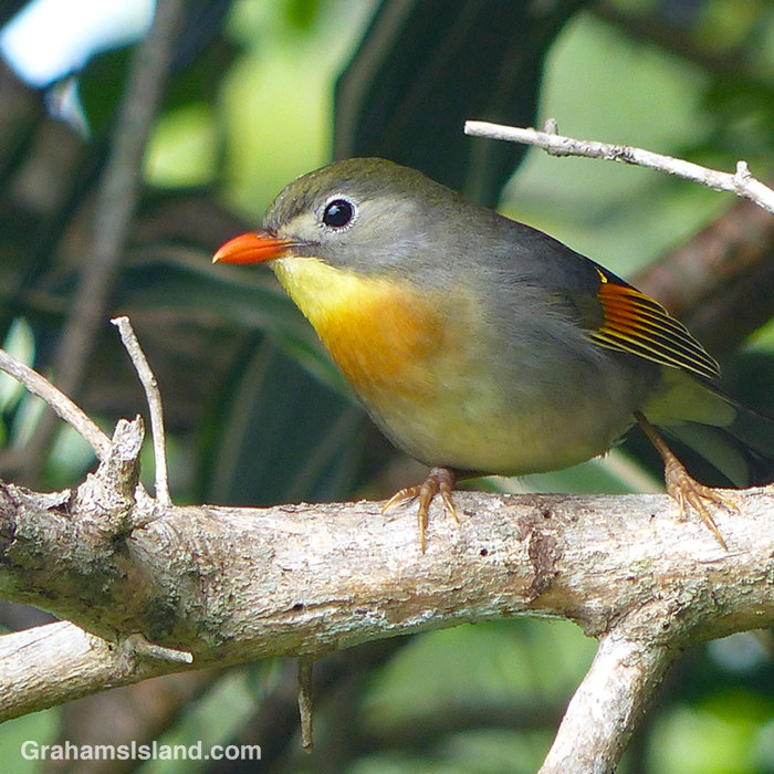 A Red-billed Leiothrix on a branch