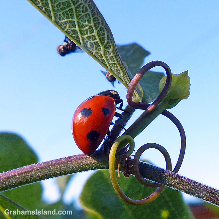 A Seven-spotted Lady beetle being watched by flies