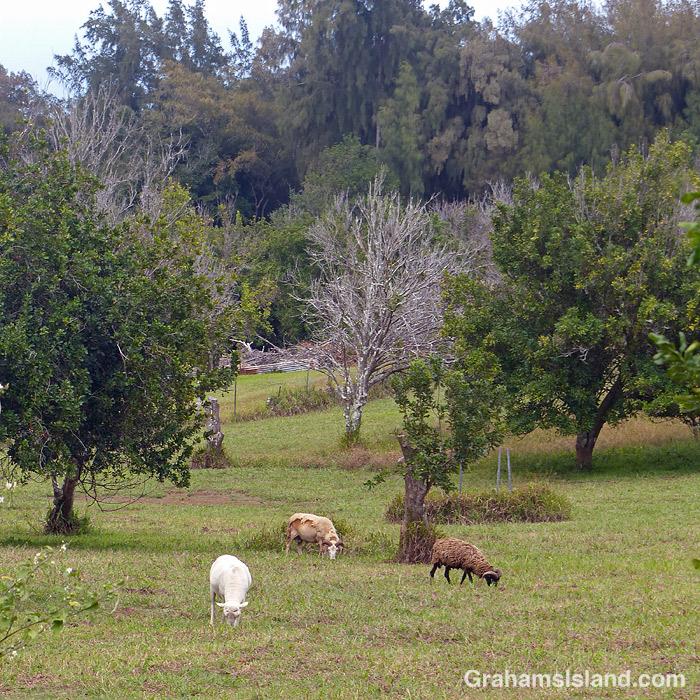 Sheep graze in a macadamia nut orchard