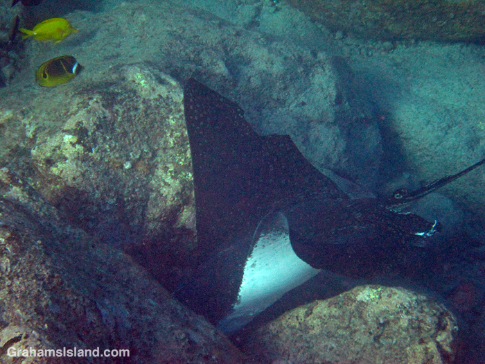 A spotted eagle ray hunts in the waters off Hawaii