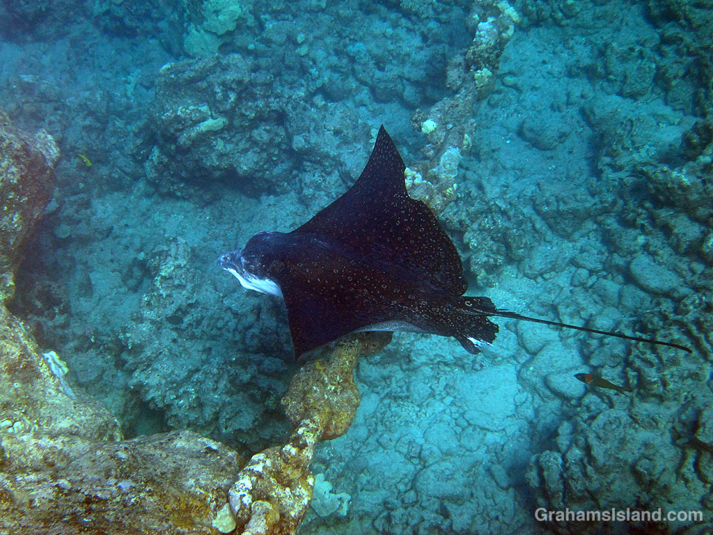 A spotted eagle ray swims in the waters off Hawaii