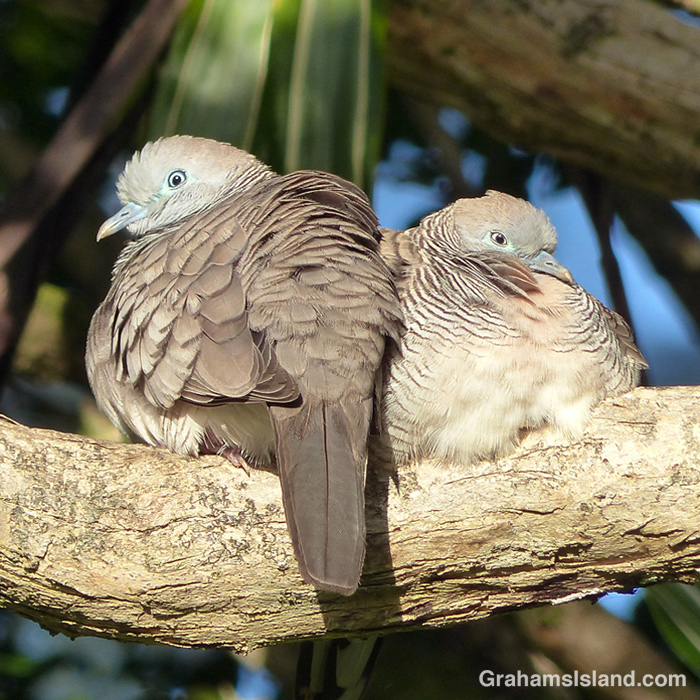 A pair of zebra doves resting on a branch