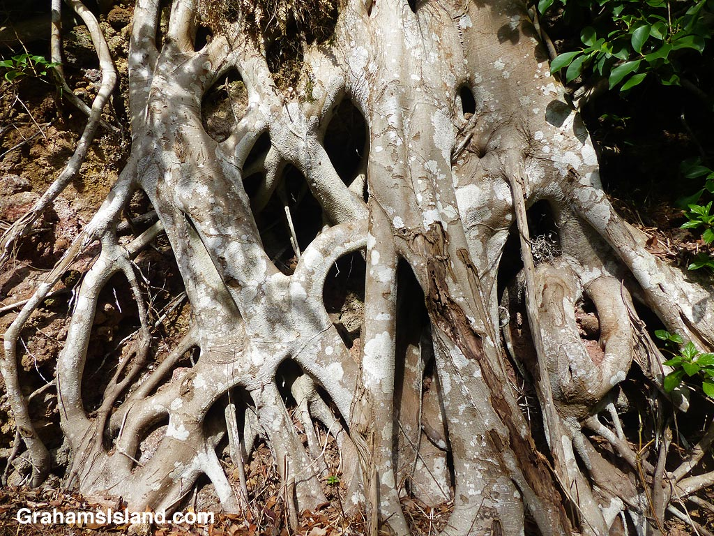 Tree roots growing on a rock face