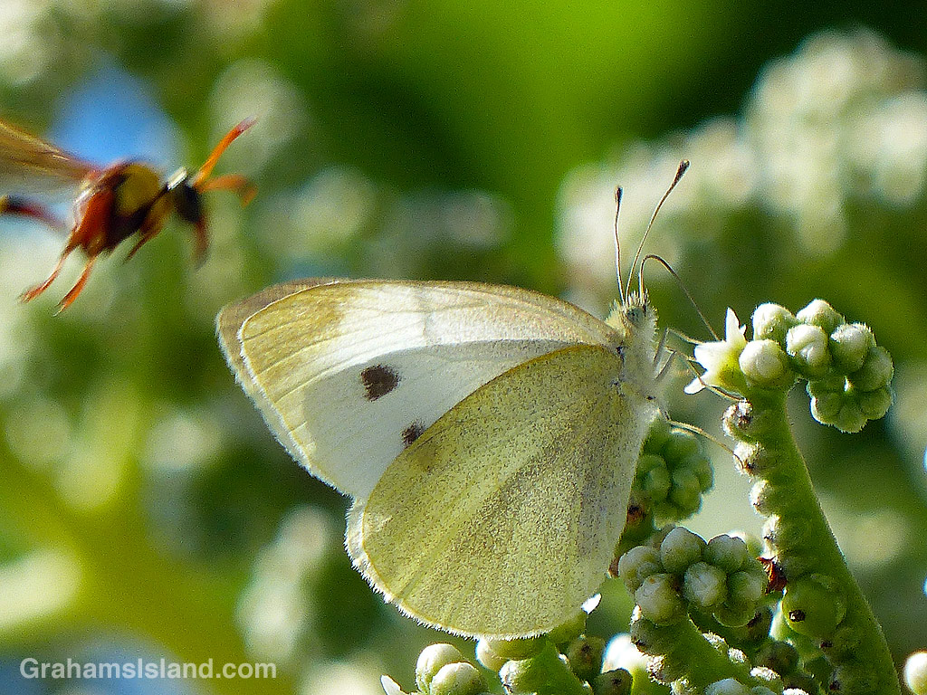 A cabbage butterfly on a tree heliotrope