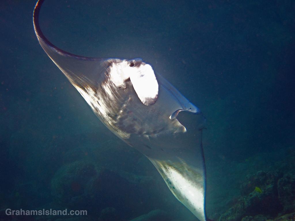 A manta ray swimming off Hawaii