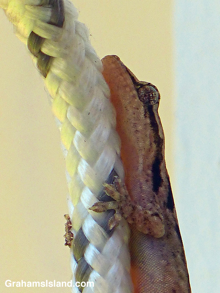 A mourning gecko clings to a washing line.