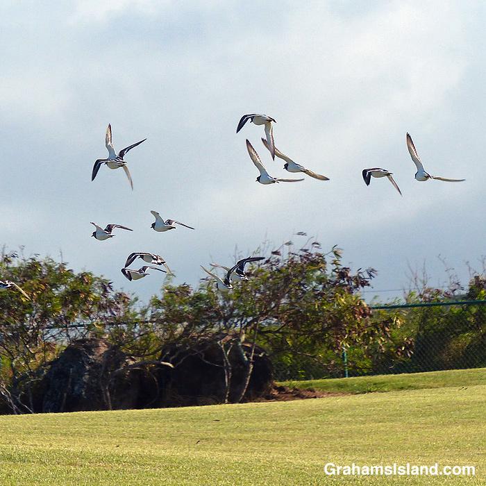 Ruddy turnstones take flight at Upolu Airport in Hawaii