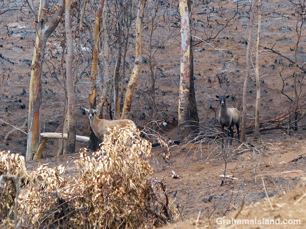 Two sheep after a brush fire