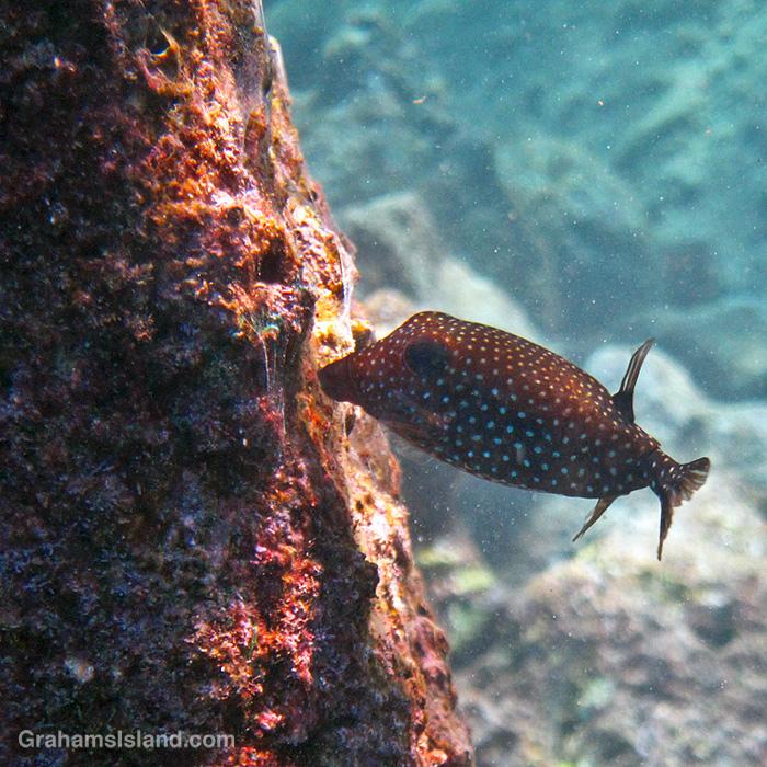 A female spotted boxfish