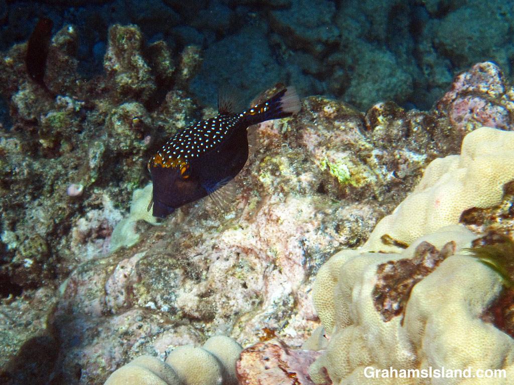 A male spotted boxfish