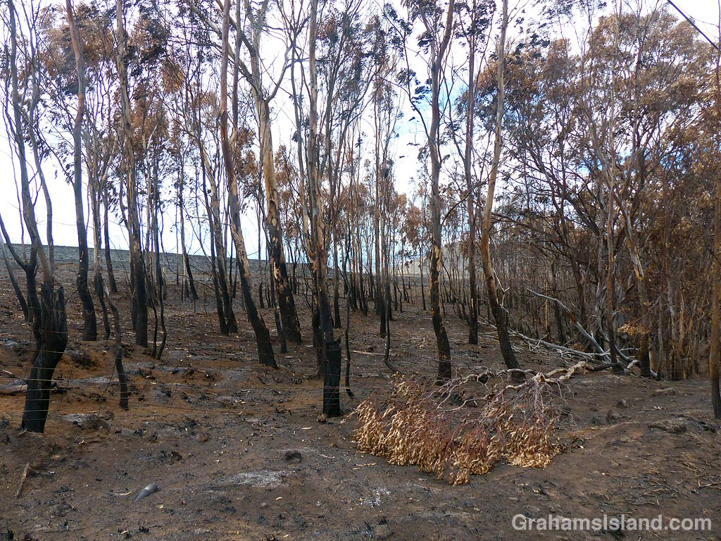 Trees after a brush fire