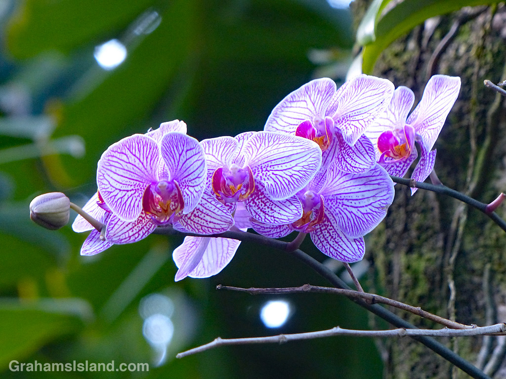 A white and purple orchid