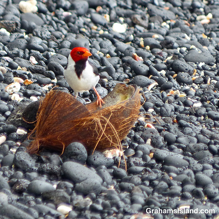 A Yellow-billed cardinal feeds on a coconut