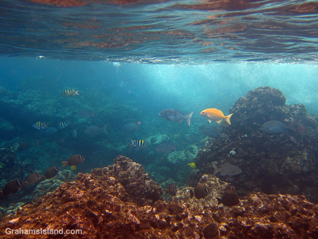 Yellow chub and other reef fish swim in shallow waters off Hawaii