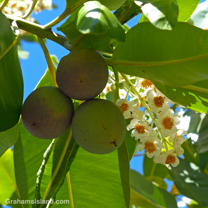 The fruits and flowers of an Alexandrian laurel in Hawaii