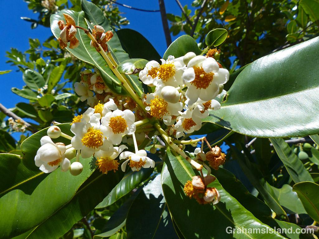 The flowers of an Alexandrian laurel in Hawaii