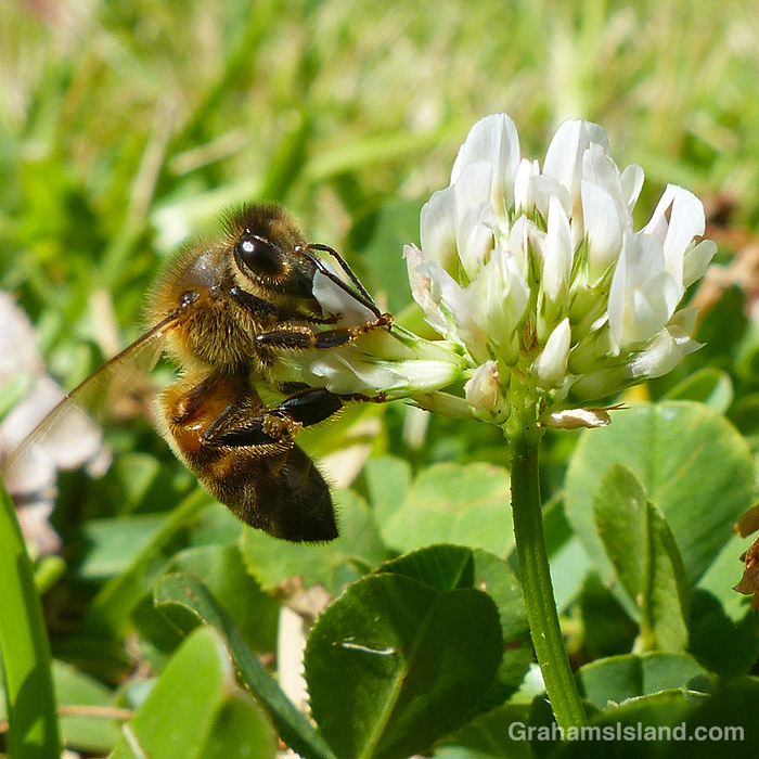 A Bee on a clover flower