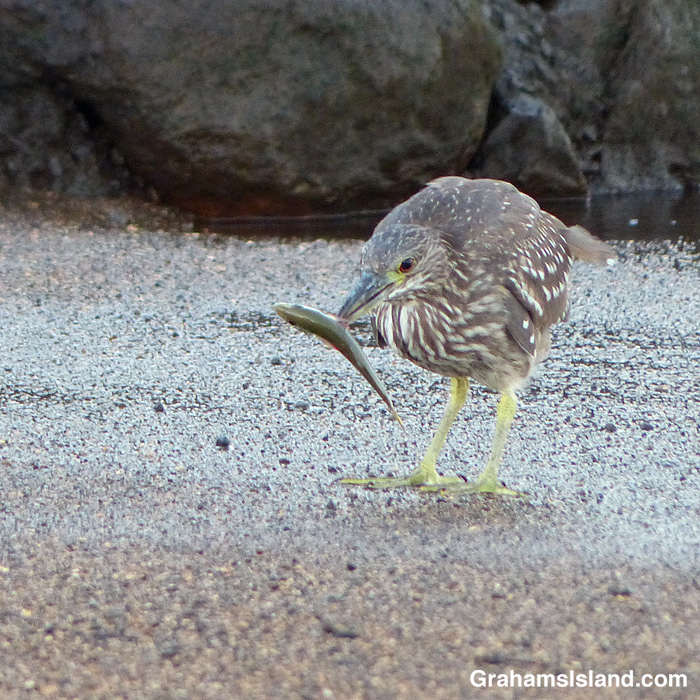 A juvenile black-crowned night heron catches a fish