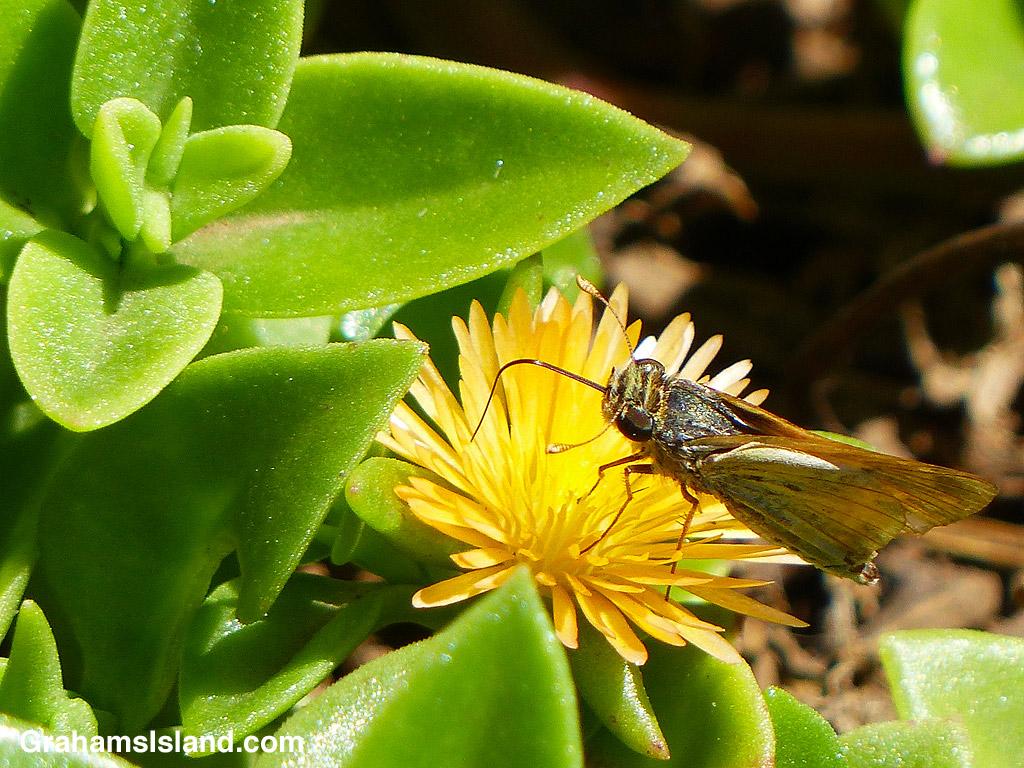A Fiery skipper butterfly feeds on an aptenia haeckeliana flower