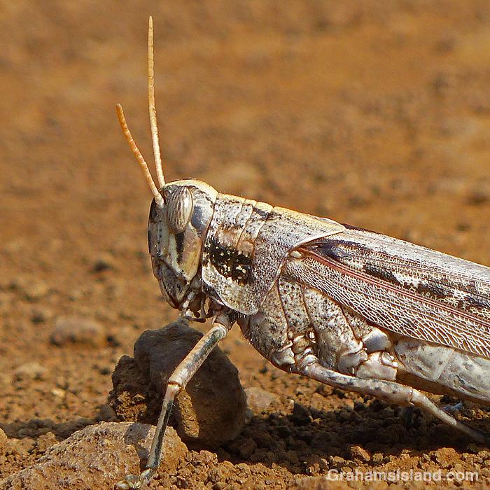 A grasshopper in Hawaii