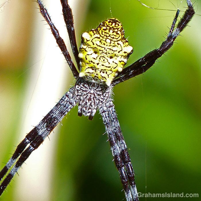 A female Hawaiian garden spider in her web