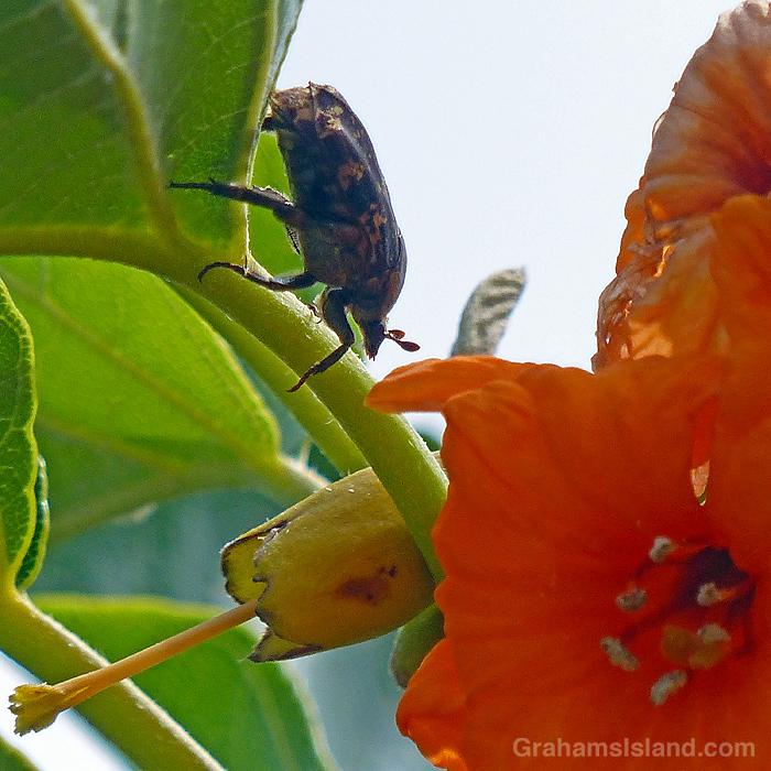 A Kou flower and mango beetle