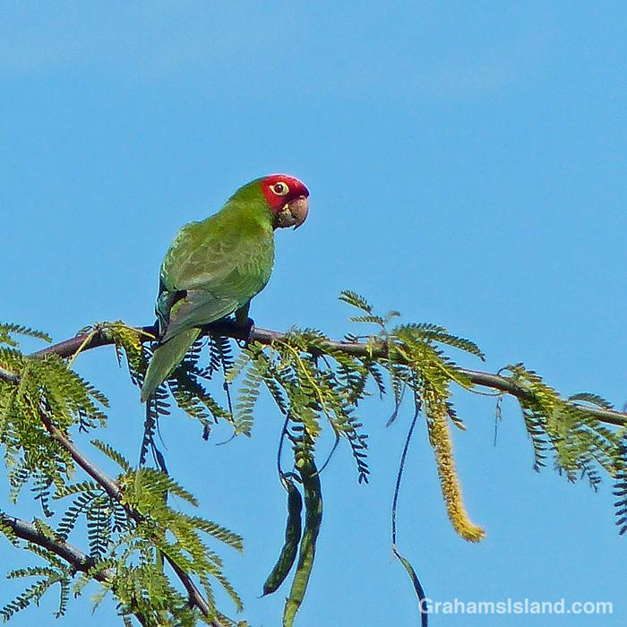 A Red-masked parakeet at Kohanaiki Beach Park.