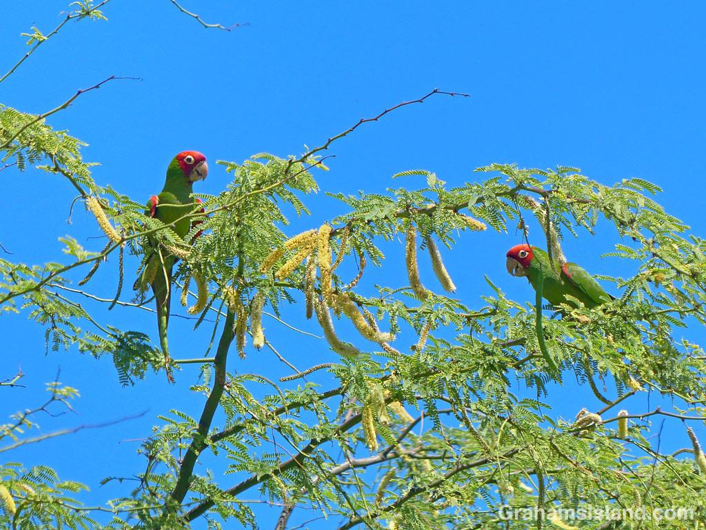 Red-masked parakeets at Kohanaiki Beach Park.
