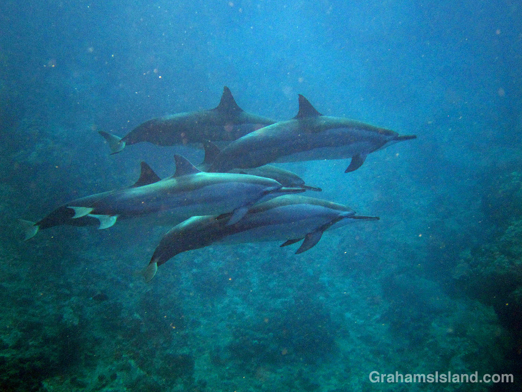Spinner dolphins off Hawaii