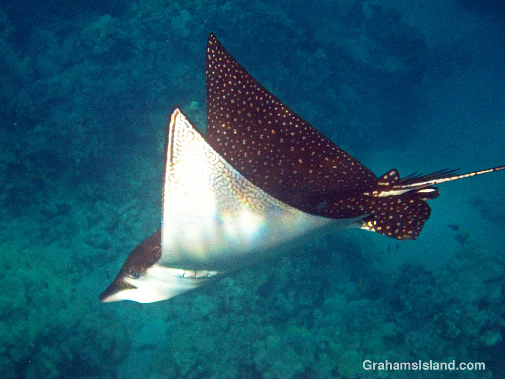 A spotted eagle ray in the waters off Hawaii