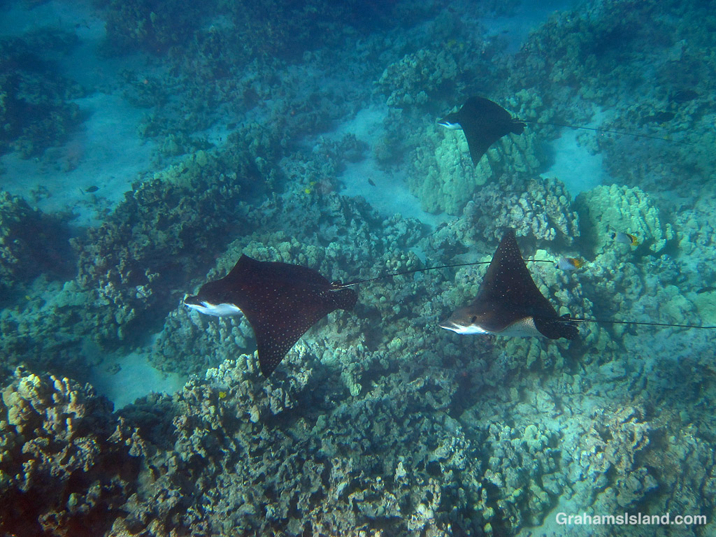 Three spotted eagle rays in the waters off Hawaii