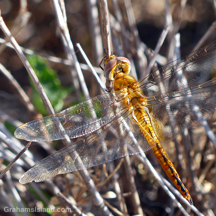 A Wandering glider dragonfly resting