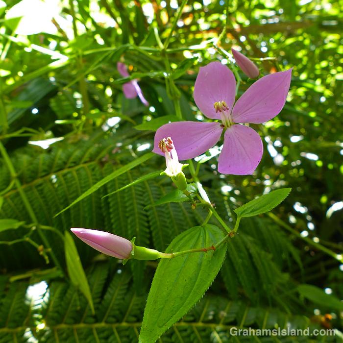 Arthrostemma ciliatum flowers