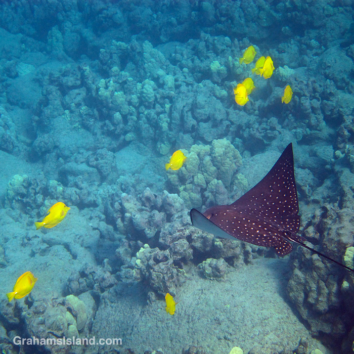 A small spotted eagle ray swims in the waters off Hawaii