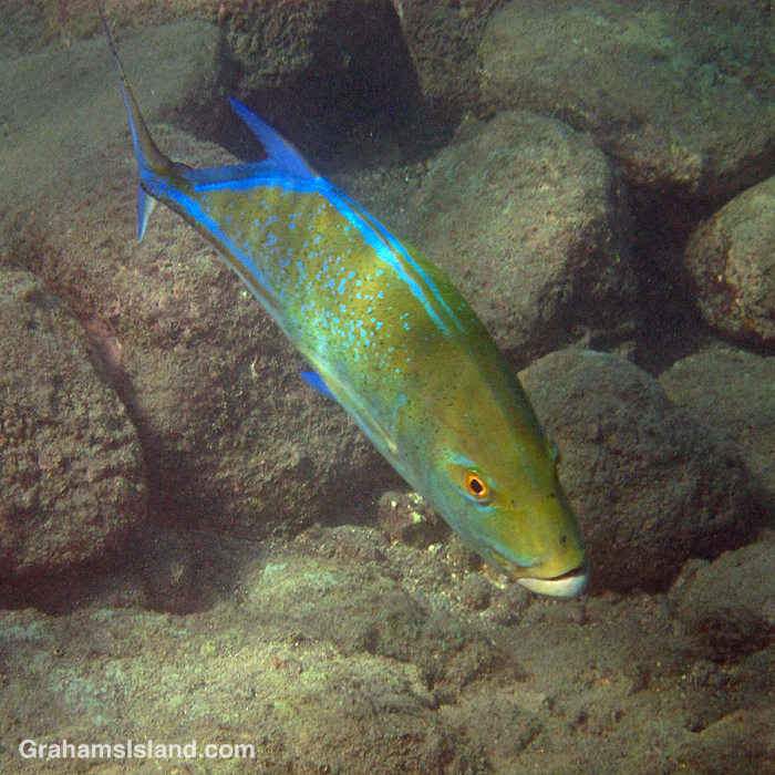 A bluefin trevally in the water off the coast of the Big Island of Hawaii