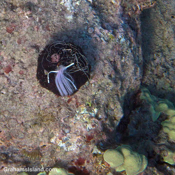 A collector urchin in the waters off Hawaii