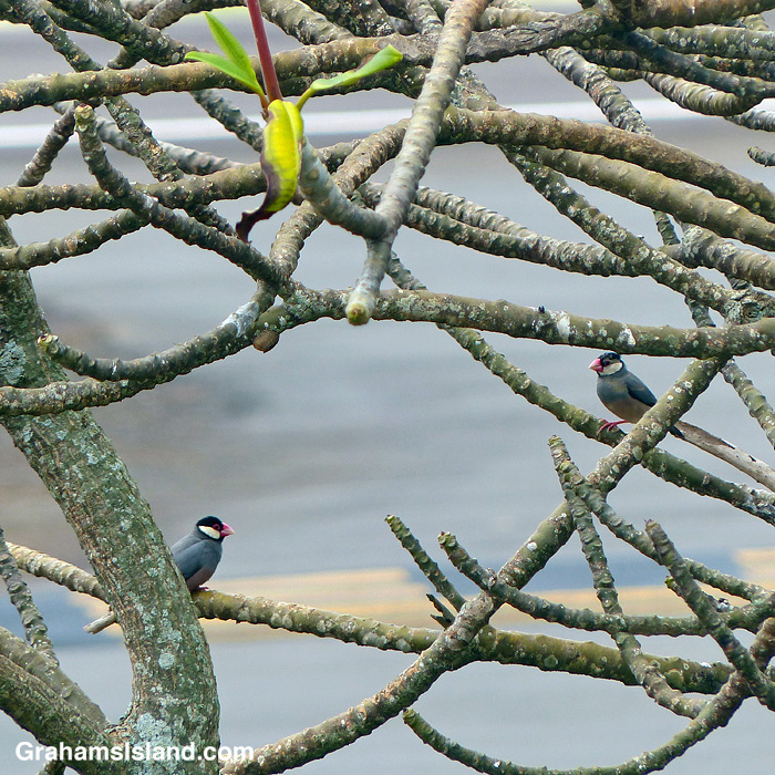 A pair of java sparrows in a plumeria tree
