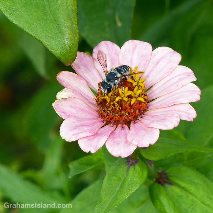 A Leafcutter bee on a zinnia violacea flower