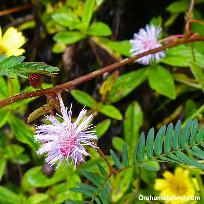 Sensitive plant flowers